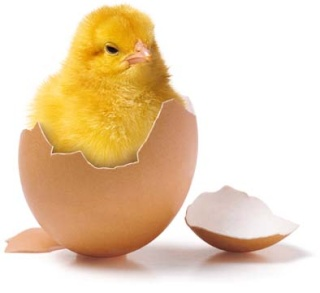 كيفية رسم صوص داخل البيضة