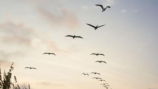 تعلم رسم طيور الشاطئ